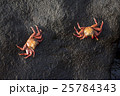 Wild crabs on sea rock next to the water 25784343