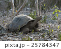 Wildlife scene of giant turtle in galapagos island 25784347