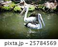 鳥類 鳥 ぺりかんの写真 25784569