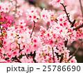 天元宮的櫻花 25786690