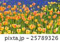 チューリップ 25789326