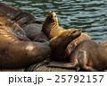 動物 アザラシ トドの写真 25792157