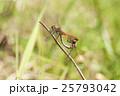赤とんぼ 昆虫 蜻蛉の写真 25793042