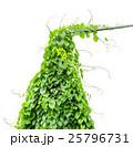 vine plants isolate on white background 25796731
