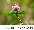 花 マメ科 赤詰草の写真 25821245