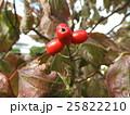 ハナミズキ 果実 実の写真 25822210