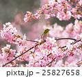 桜 メジロ 野鳥の写真 25827658
