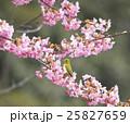 桜 メジロ 野鳥の写真 25827659