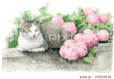 ピンクの紫陽花と猫 25829038