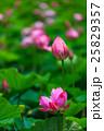 唐比ハス園 ハスの花 長崎 25829357