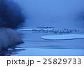 川霧に包まれたねぐらで眠る丹頂鶴 25829733