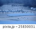 鶴 群れ 飛翔の写真 25830031
