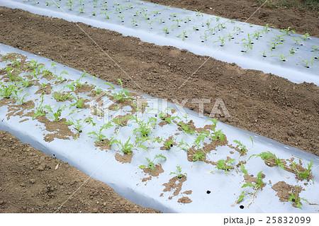 シルバーマルチで栽培中の水菜 25832099