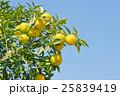 みかん 実り 果物の写真 25839419