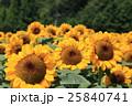 向日葵畑 花 ヒマワリの写真 25840741