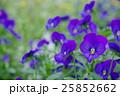 青紫色のビオラの花壇 25852662