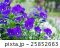 青紫色のビオラの花壇 25852663