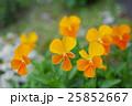 オレンジ色のビオラの花壇 25852667