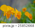 ビオラ 花 オレンジ色の写真 25852668