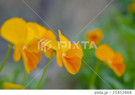 オレンジ色のビオラ(クローズアップ) 25852668