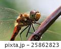 昆虫 虫 秋の写真 25862823