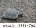 ゾウガメ 亀 動物の写真 25864798