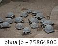 ゾウガメ 亀 動物の写真 25864800
