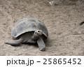ゾウガメ 動物 亀の写真 25865452