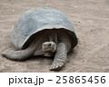 ゾウガメ 動物 亀の写真 25865456