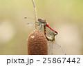 ナツアカネ アカトンボ 昆虫の写真 25867442