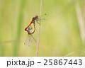 ナツアカネ アカトンボ 昆虫の写真 25867443