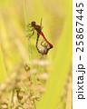ナツアカネ アカトンボ 昆虫の写真 25867445