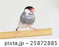 桜文鳥の雄 25872885