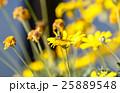 蜜蜂 蜂 黄花マーガレットの写真 25889548