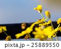 蜜蜂 蜂 黄花マーガレットの写真 25889550