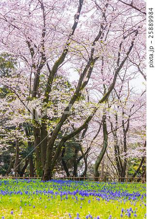 満開の桜とムスカリの花 春 (千葉県千葉市中央区千葉公園) 25889984