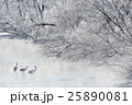 タンチョウ 鶴 樹氷の写真 25890081