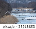 タンチョウ 飛ぶ 冬の写真 25913853
