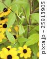 カマキリ オオカマキリ 昆虫の写真 25913905