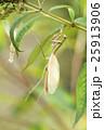 カマキリ オオカマキリ 昆虫の写真 25913906