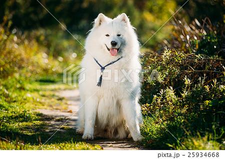 Very Funny Happy Funny Lovely Pet White Samoyed 25934668