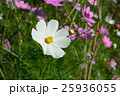 秋桜 花 植物の写真 25936055