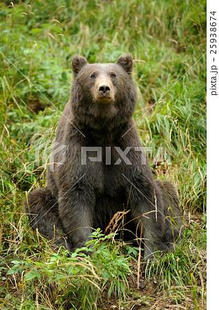 Brown bear (Ursus arctos) in nature 25938674