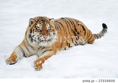 Tigerの写真素材 [25938806] - PIXTA