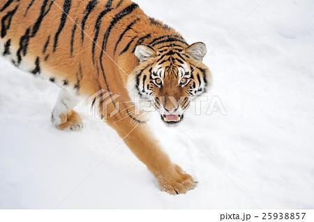 Tigerの写真素材 [25938857] - PIXTA