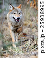 おおかみ オオカミ 狼の写真 25938995