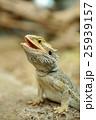 とかげ トカゲ 蜥蜴の写真 25939157