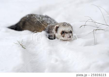 Wild ferret in snow 25939223