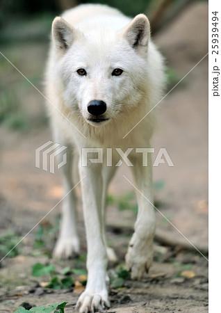 White wolf 25939494