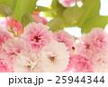 桜 八重桜 花の写真 25944344